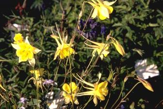 https://cdn.zilvercms.nl/http://yarinde.zilvercdn.nl/Aquilegia chrysantha 'Yellow Queen'