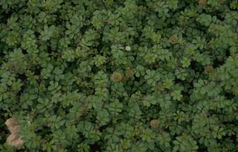 https://cdn.zilvercms.nl/http://yarinde.zilvercdn.nl/Stekelnootje - Acaena anserinifolia