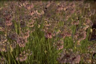 https://cdn.zilvercms.nl/http://yarinde.zilvercdn.nl/Sierui - Allium Cernuum