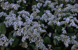 https://cdn.zilvercms.nl/http://yarinde.zilvercdn.nl/Schoenlappersplant - Bergenia 'Bressingham White'