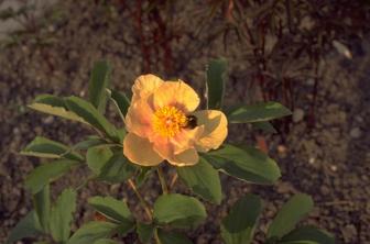 https://cdn.zilvercms.nl/http://yarinde.zilvercdn.nl/Schoenlappersplant - Bergenia cordifolia
