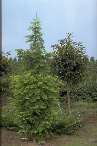 https://cdn.zilvercms.nl/http://yarinde.zilvercdn.nl/Watercipres - Metasequoia glyptostroboides 'Sheridan Spire'