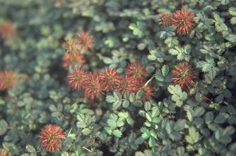 https://cdn.zilvercms.nl/http://yarinde.zilvercdn.nl/Stekelnootje - Acaena microphylla 'Kupferteppich'