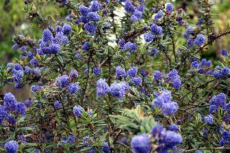 https://cdn.zilvercms.nl/http://yarinde.zilvercdn.nl/Ceanothus arboreus 'Trewithen Blue' bloeifoto
