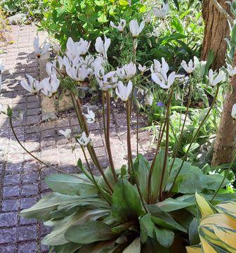 https://cdn.zilvercms.nl/http://yarinde.zilvercdn.nl/Dodecatheon tuinplanten met witte bloemen