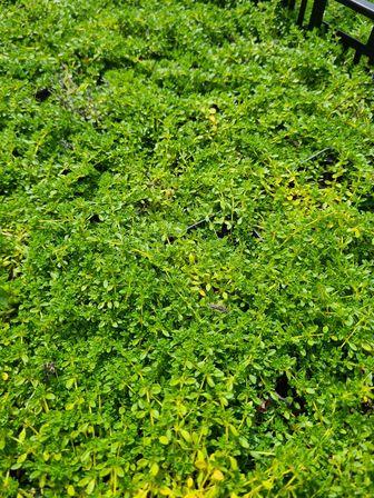 https://cdn.zilvercms.nl/http://yarinde.zilvercdn.nl/beloopbare tuinplanten loopgroen Kruiptijm - Thymus praecox 'Albiflorus'