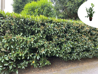 https://cdn.zilvercms.nl/http://yarinde.zilvercdn.nl/Prunushagen yarinde bladhoudende haagplanten