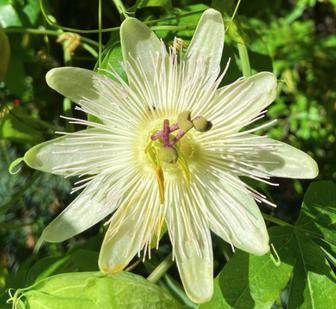 https://cdn.zilvercms.nl/http://yarinde.zilvercdn.nl/Passiebloem - Passiflora caerulea 'Constance Elliott'
