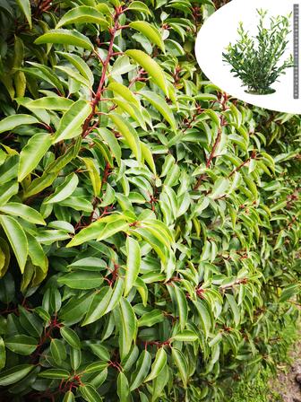 https://cdn.zilvercms.nl/http://yarinde.zilvercdn.nl/Prunus haagplanten groenblijvend haag
