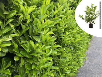 https://cdn.zilvercms.nl/http://yarinde.zilvercdn.nl/Rotundifolia tuinplanten hagen aanplanten yarinde