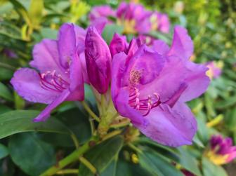 https://cdn.zilvercms.nl/http://yarinde.zilvercdn.nl/Bloei rhododendron roze