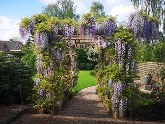 https://cdn.zilvercms.nl/http://yarinde.zilvercdn.nl/pergola klimplanten alba blauw wit regen blauweregen klimplant pergola