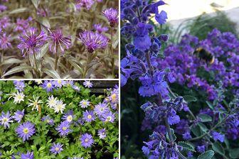 https://cdn.zilvercms.nl/http://yarinde.zilvercdn.nl/vaste planten borderpakket blauwe tuinplanten