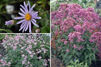 https://cdn.zilvercms.nl/http://yarinde.zilvercdn.nl/Roze bloeiende vaste planten kleigrond tuinklei