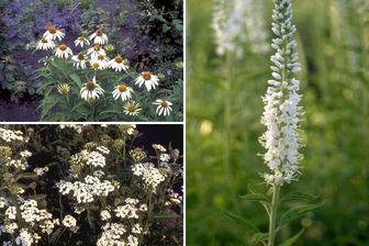 https://cdn.zilvercms.nl/http://yarinde.zilvercdn.nl/witte tuinplanten vaste planten