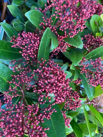 https://cdn.zilvercms.nl/http://yarinde.zilvercdn.nl/skimma rubella plant