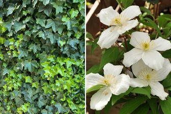 https://cdn.zilvercms.nl/http://yarinde.zilvercdn.nl/witte bloemen hedera schermen