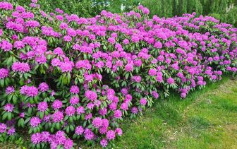 Rododendron 'Rhododendron'