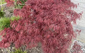 Japanse Esdoorn 'Acer palmatum'