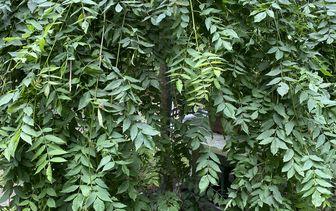 Treurbomen informatie