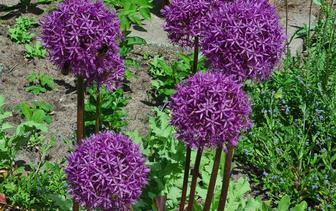 Sierui 'Allium'