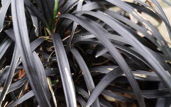 Zwart gras 'Ophiopogon'