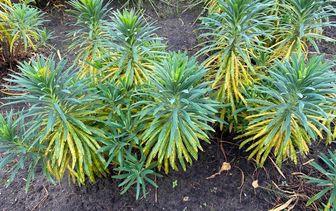 Wolfsmelk 'Euphorbia'