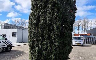 Zuilbomen - Zuilvorm