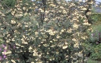 Lijsterbes 'Sorbus'