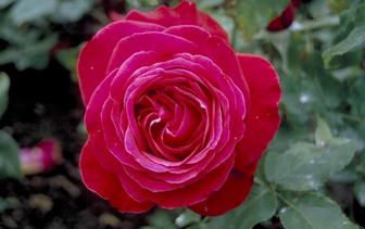 Rozen 'Rosa'
