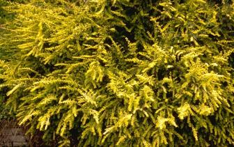 Groenblijvende haagplanten