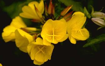 Teunisbloem 'Oenothera'