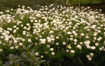 Kamille 'Alle soorten'