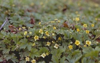 Goudaardbei 'Waldsteinia'