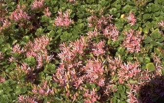 Roze vetkruid