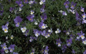 Borderplanten blauw