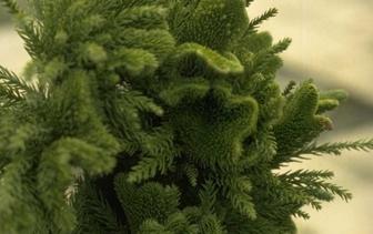 Onderhoudsarme coniferen
