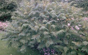 Fluweelboom 'Rhus typhina'