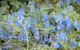Helmbloem 'Corydalis'