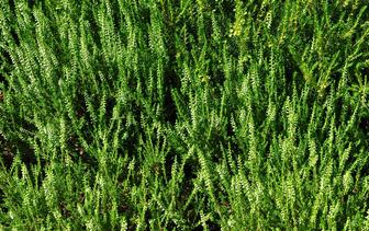 Heideplanten