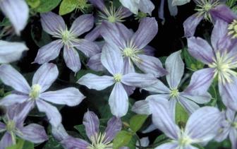 Lavendelhei 'Andromeda polifolia'