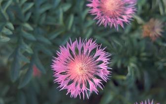 Korenbloem 'Centaurea'