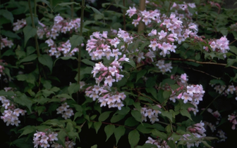 Koninginnestruik 'Kolkwitzia amabilis'