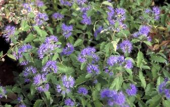 Blauwbaard / Baardbloem 'Caryopteris'