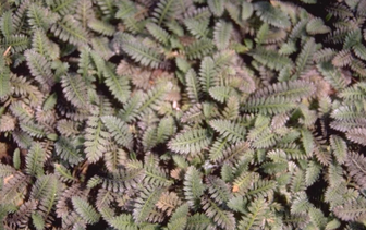Koperknoopje 'Leptinella'