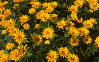 Zonneoog 'Heliopsis'