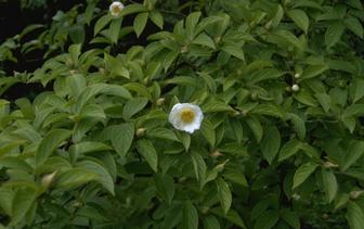 Schijncamelia 'Stewartia Pseudocamellia'