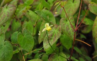 Elfenbloem 'Epimedium'