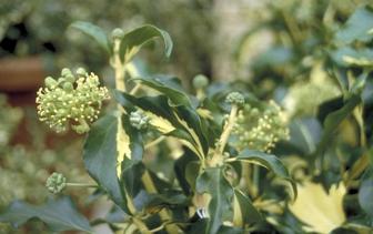 Onderhoudsarme klimplanten