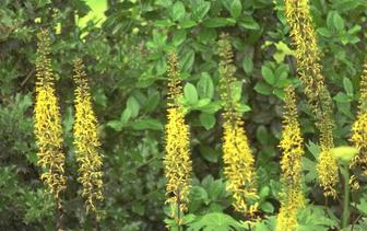 Kruiskruid 'Ligularia'